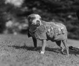 nombres de perros pitbull famosos