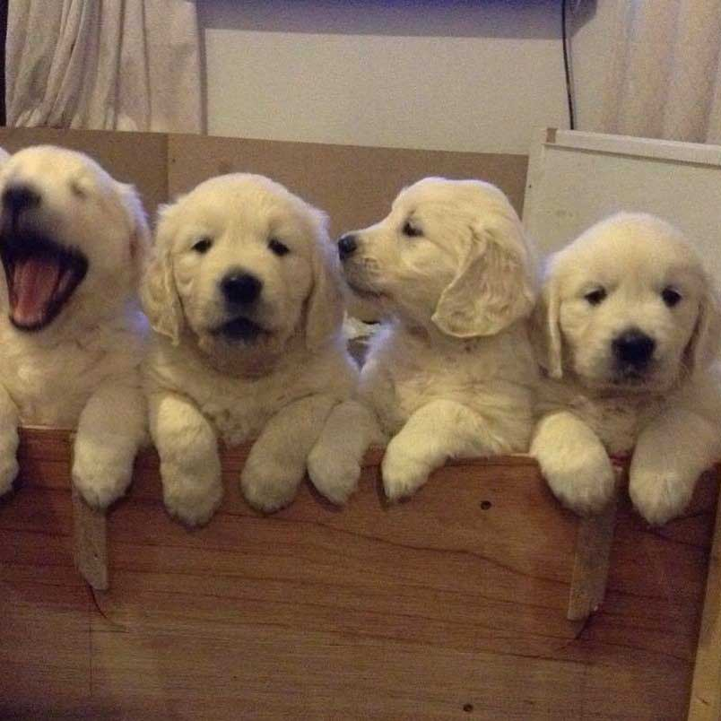 imagenes de golden retriever, imagenes de perros golden, cachorros de golden retriever