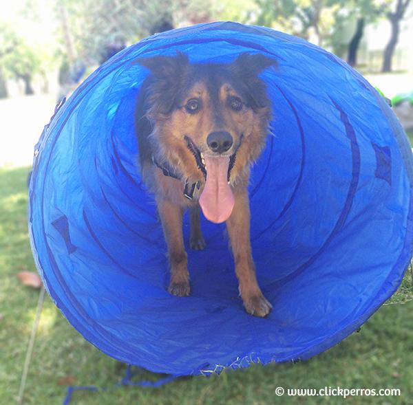 Agility para perros, adiestramiento canino buenos aires, como educar a un perro