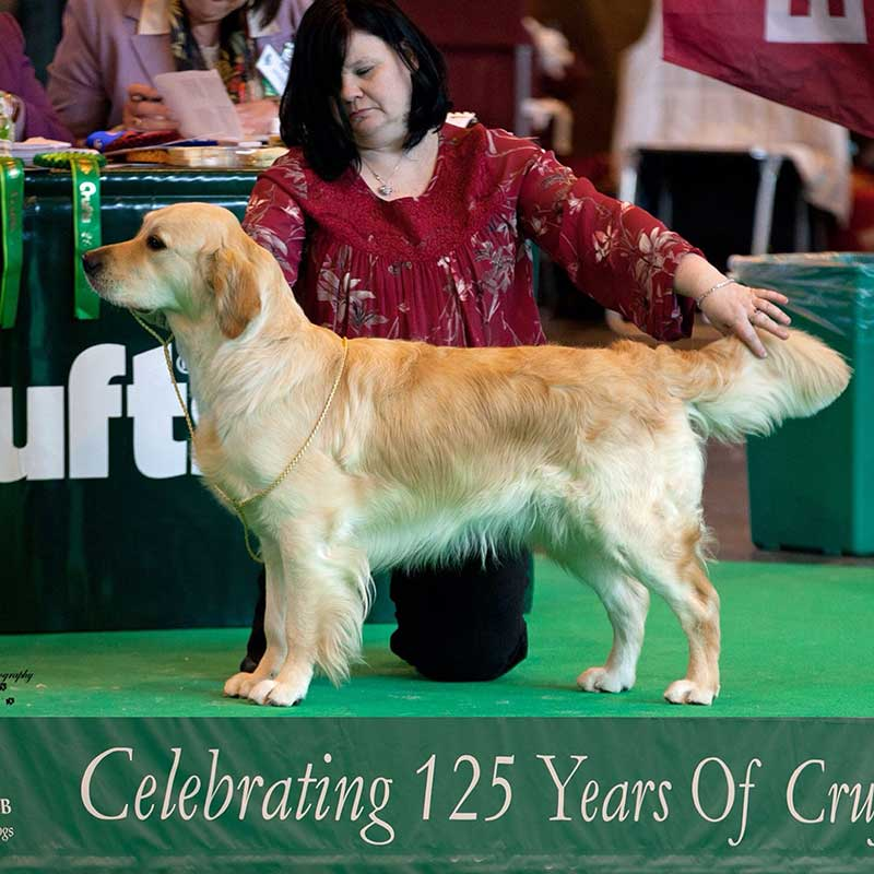 cuidados del golden retriever, golden retriever caracteristicas