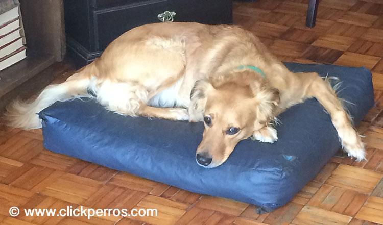 prevenir miedo y estres en perros y fuegos artificiales