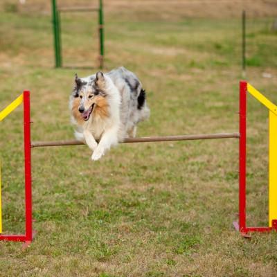 Agility para perros, buenos aires