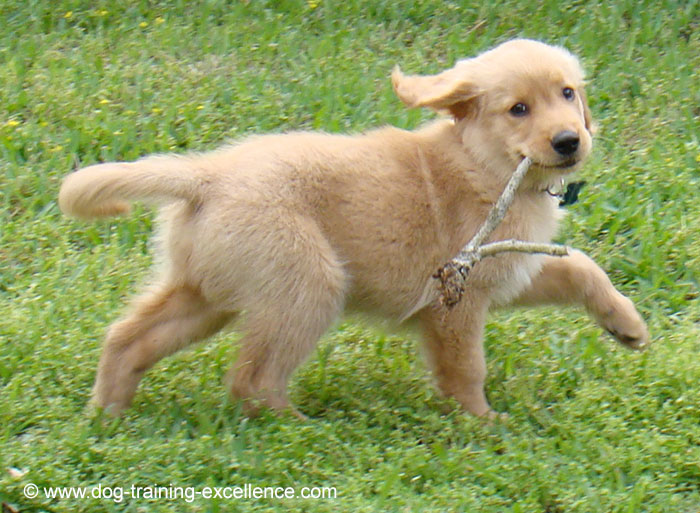 cachorro golden retriever nombres