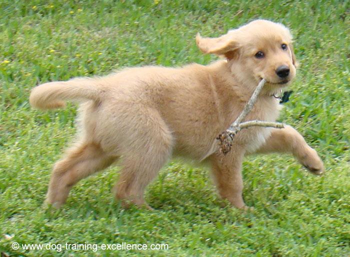 cachorro golden retriever nombres