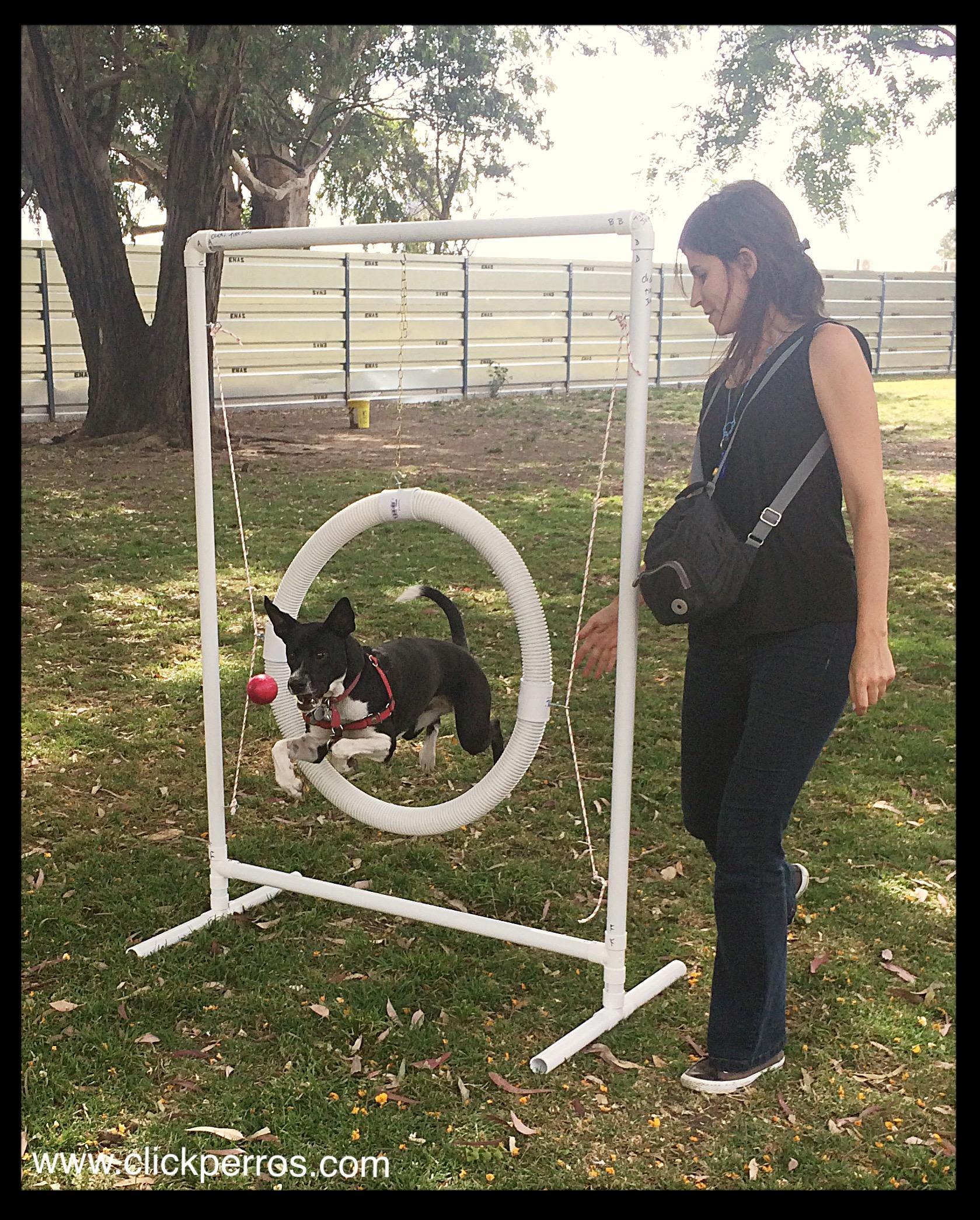 Agility para perros buenos aires, deportes caninos, adiestramiento de perros