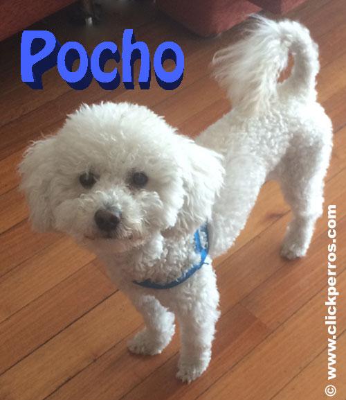 Nombres para perros Caniche Toy